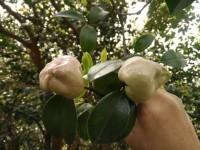 钟山村拥有万亩栽种的山茶树!-钟山网-钟山村